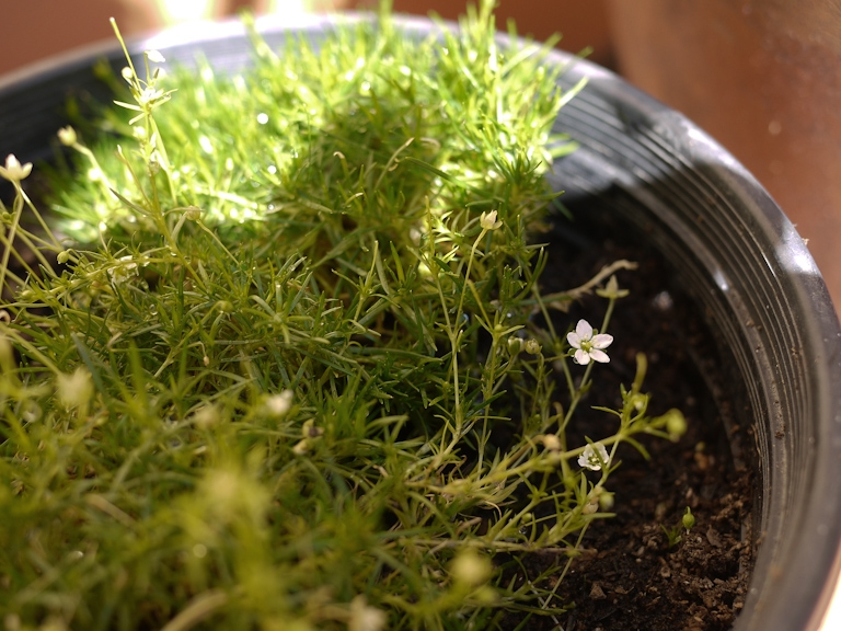 irish moss grass tiny white flowers